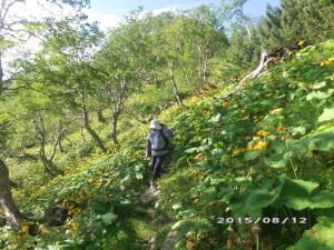 マルハダケブキの斜面をトラバース